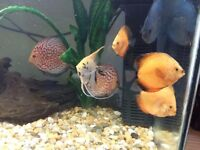 fish for sale Discus