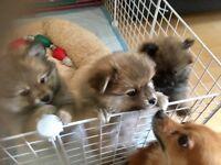 Exceptional quality KC Registered Teddy Bear Pomeranians
