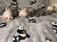 😍😍Stunning KC french bulldog puppies 😍😍