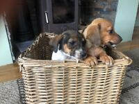 Dachshund x jack Russell puppies