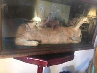 Victorian Cased Taxidermy Rabbit