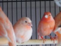 Beautiful color Canaries FOR SALE