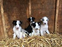 Border collie pups for sale £250b and w
