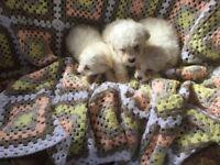 Malteas puppy boy & girl