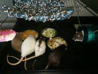 Beautiful rats for sale