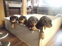 rottweiler puppies ready the 18th september