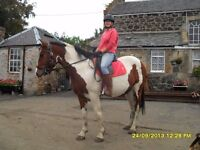 Eye Catching Skewbald Mare For Sale
