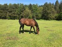 15hh TB mare