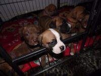 For sale Puppies AMERICAN BULLDOG-CROSS STAFF.Ready for a new home; 25 JULY