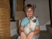 Ragdoll male kittens