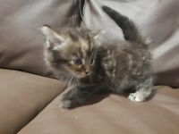 Kittens for sale boys and girls 8 weeks