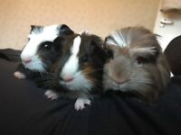 3x Baby Male Guinea Pigs - Well handled