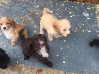 F1 family bred Cockerpoo puppy's pra clear ready to go