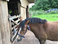 Lovely lead rein pony available two days per week