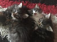 4 long hair female kittens
