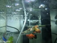 Baby / Adult Fish