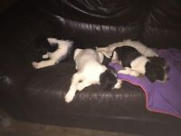 Mixed breed puppies. Short any long hair. white/black, black white and white choc brown