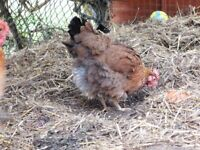 Stolen Chicken - stolen from charity in West Cornforth