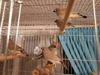 Large family of zebra finches for sale