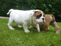 ***British bulldog puppies £250 NEED GONE ***