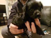 4 Yorkie terrier cross terrier puppies ready now