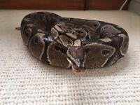 Standard Royal Python