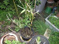 7 Garden Plants incl Bamboo , Crocosmia, Hebe, Elephants Ears