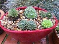 Pot planted with Sempervirens