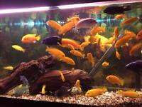 Assorted Malawi Cichlids Aquarium Set Up