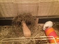 2 young male guinea pigs,indoor cage and extras for sale