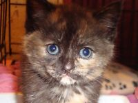 Beautiful tiny rescued kitten, torty, very affectionate little girl.