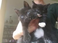 Cute male kittens for sale plus free accessories