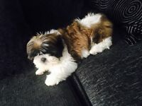 Female shih tzu. Fourth generation pedigree papers