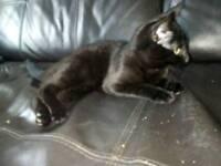 Little black female kitten