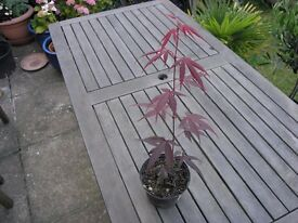 Red Japanese Acer / Maple and 7 Other garden Plants Weymouth