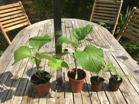 Organic aubergine plants
