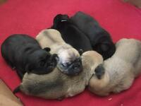 3/4 pug puppies (chugs) beautiful!