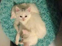 Petit chatons blanc à donner URGENT!
