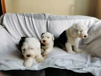 Old english sheepdog pup for sale