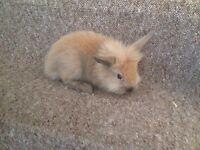 pure lionhead baby rabbits