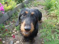 mini wire dachshund female pup