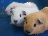 Gorgeous male baby guinea pigs ready to reserve