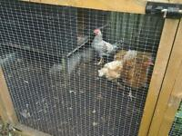 Cream Legbar rooster. (Hens/Chickens/Birds)