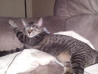 Loveable Family Tabby cat needs a Forever home !