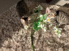 Two beautiful tabby kittens one boy one girl