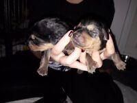 Rottweiler X German Shep pups £300. Ready from 3rd December