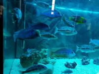 Malawi Cichlids Blue Dolphin and Lithabates Zimbabwe rock!! and more