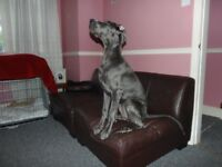 PEDIGREE GREAT DANE BITCH PUPPY FOR SALE FOUR AND A HALF MONTHS OLD