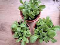 3 Forget-Me- Not seedlings for sale