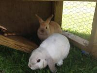 2 month old holland lop rabbits